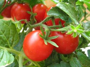 Балконные помидоры