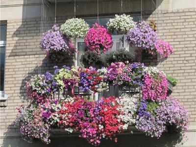 Петуния на балконе: как выращивать и ухаживать за петунией, фото удачного размещения цветка на балконе, правила выращивания