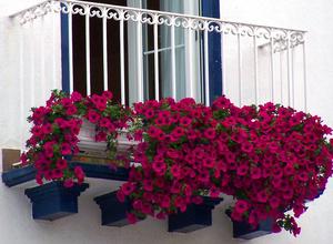 Розовые петунии