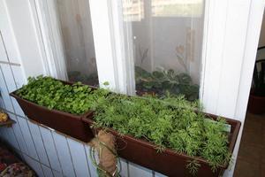 Виды зелени для выращивания на балконе