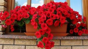 Выращивание и уход за ампельными растениями