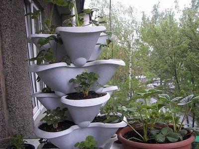 Как выращивать клубнику на балконе выбор сорта подготовка рассады и варианты размещения саженцев