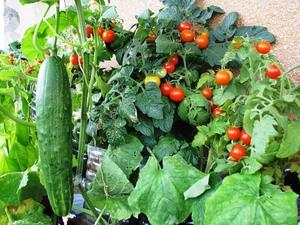 Правила разведения огорода на балконе