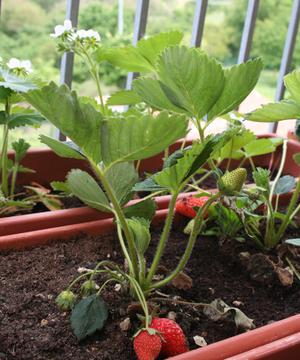 Выращиваем землянику