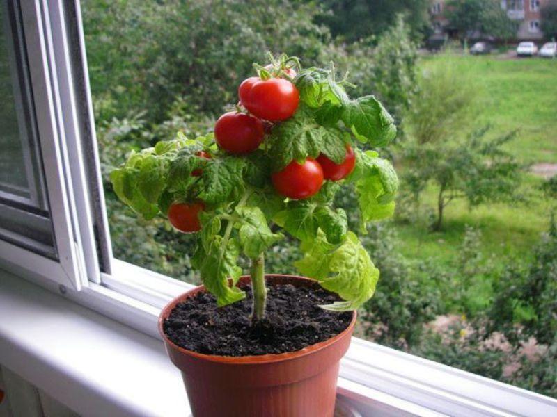 Огород из овощей на окне