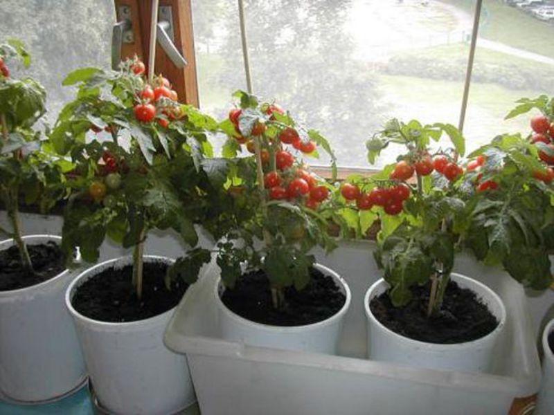Овощи в горшках на окне