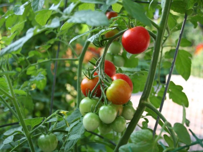 Сорт томатов для выращивания на подоконнике 566