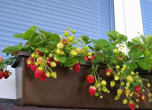Сорта и технология выращивание клубники 278