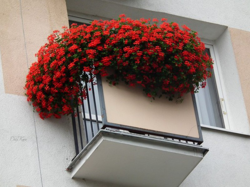 Однолетние низкорослые растения, ампельные цветы и лианы для.