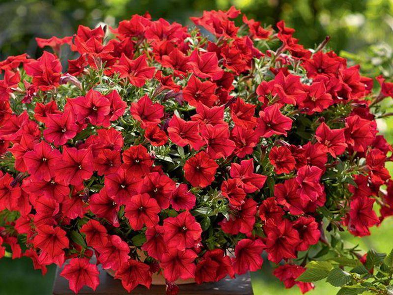 Однолетние цветок цветет красным фото