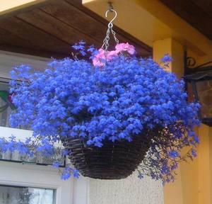 Названия цветов для балкона