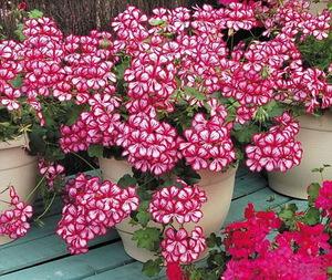 Герань - уход за растением на балконе