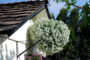 Алиссум - выращивание на балконе