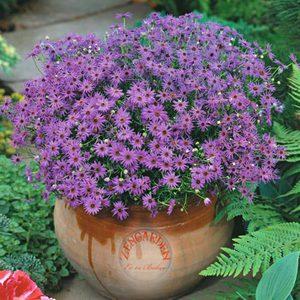 Брахикома - уход за растением на балконе