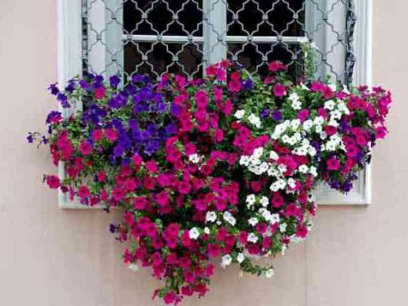 Выращивание петунии на балконе и уход за ней на фото.