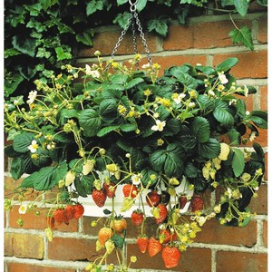 Растим клубнику дома круглый год