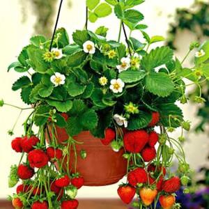 Процесс выращивания клубники на балконе