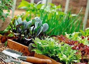 Способ выращивания зелени