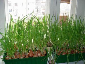 Выращиваем сами зеленый лук