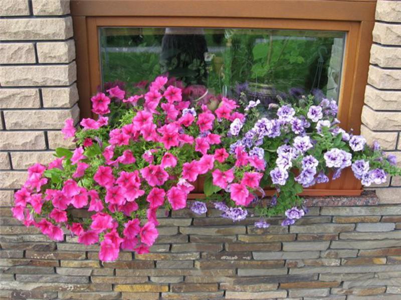 Цветы петунья - сорта и особенности выращивания; вертикальна.