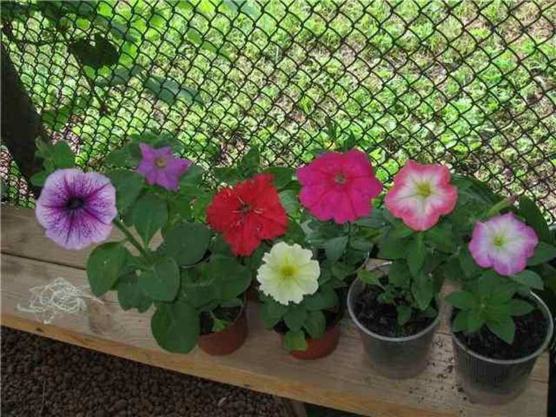 Петуния лучшие сорта для выращивания в кашпо из семян дома 33
