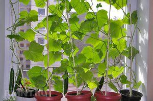 Как вырастить огурцы в квартире и на подоконнике зимой