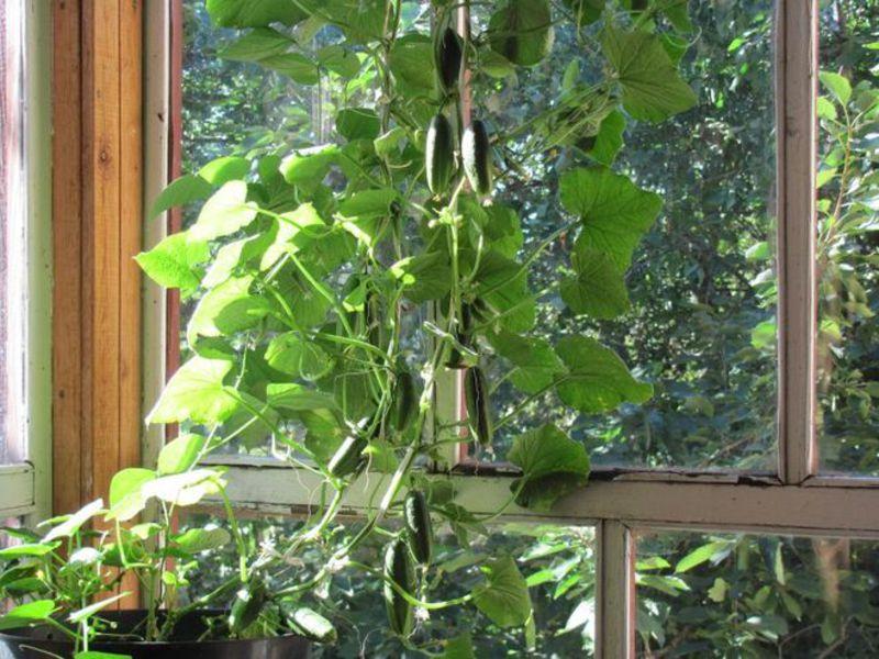 Эффективное выращивание огурцов на балконе - секрет дачи.